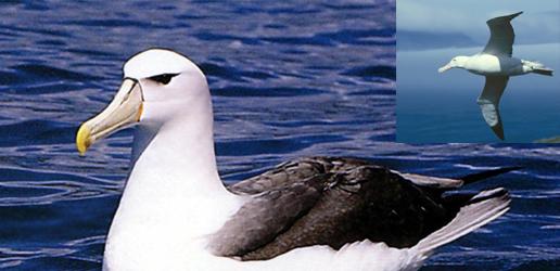 Photo of Uçarken Uyuyabilen Kuş: Albatros