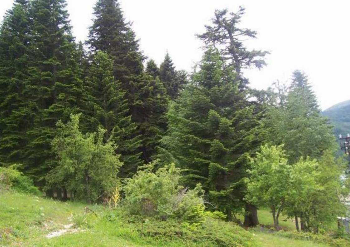 Photo of En Sabırlı Ağaçlar Göknar