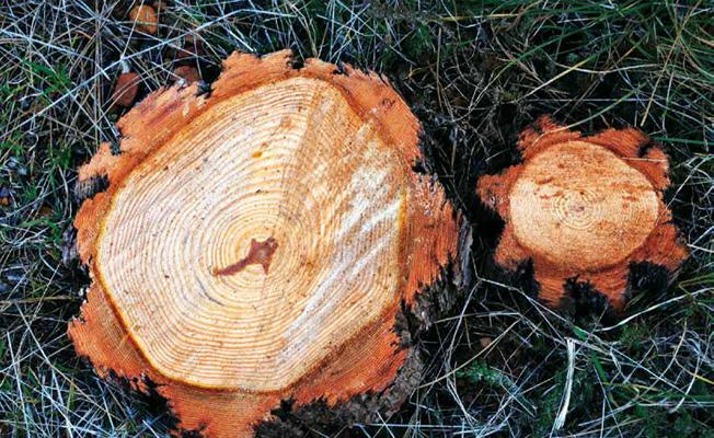 Photo of Yangında Akla İlk Gelen Ağaç: Kızılçam