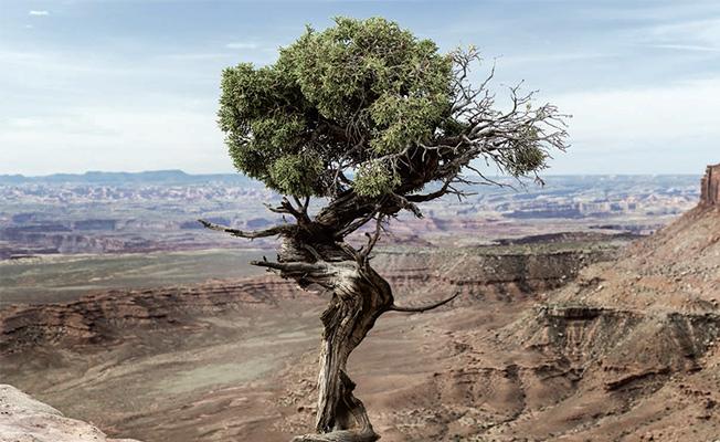 Photo of Ormanını En Son Terk Eden Kaptan: Ardıç Ağacı