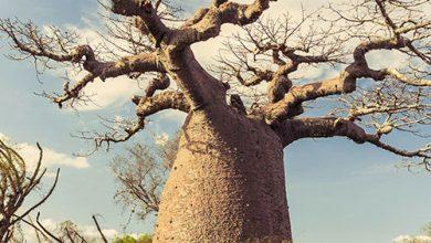 """Photo of Yaşanılabilecek Bir Yer """"Baobab ağacı"""""""