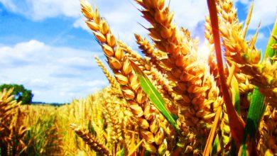 Photo of Buğdayın Genleri Tehlikede