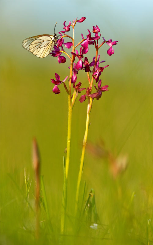 Salep çiçek orkide