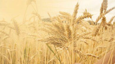 Photo of Tahılların Kadim Dostluğu
