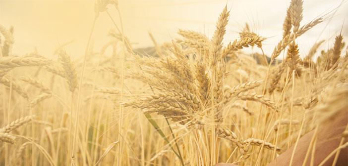 Arpa ile buğday